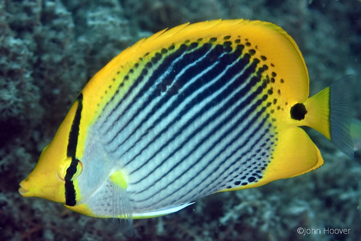 Photo Image Spot Tail Butterflyfish Chaetodon Ocellicaudus