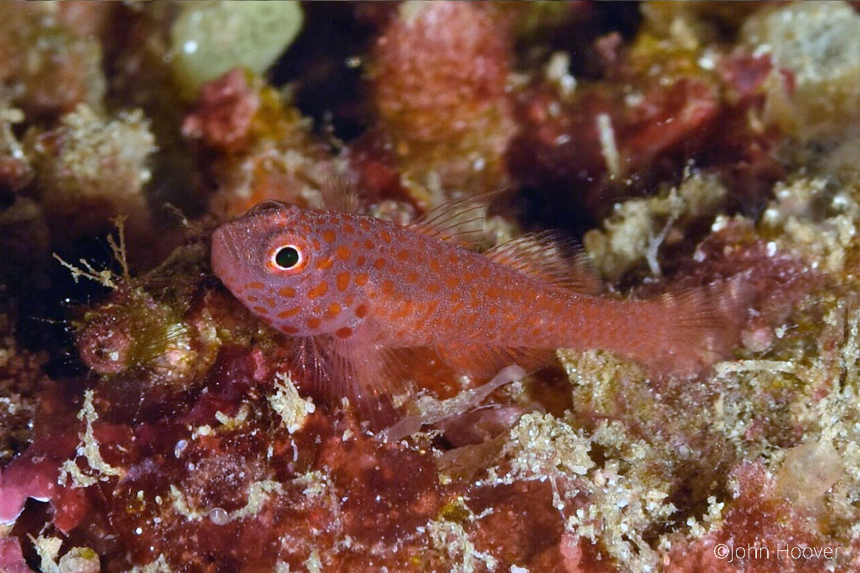red striped goby