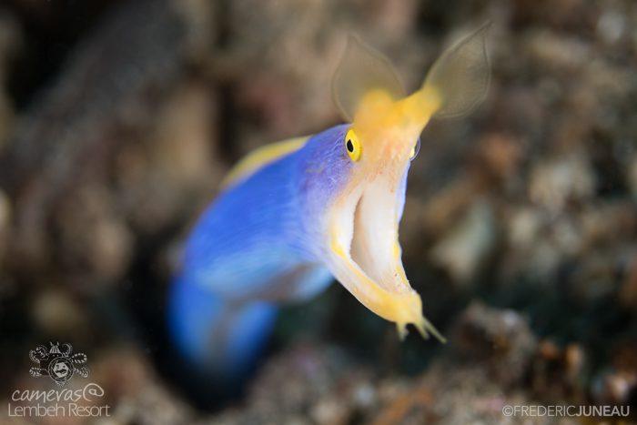 Blue Ribbon Eel Lembeh