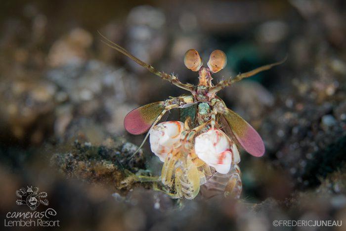 Mimic mantis