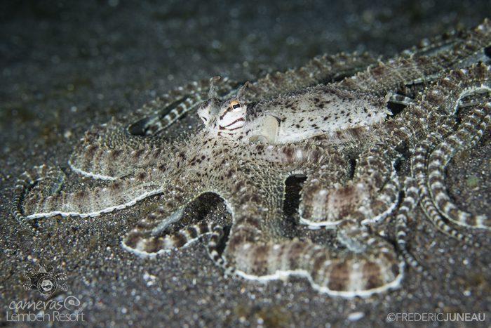 Mimic flounder