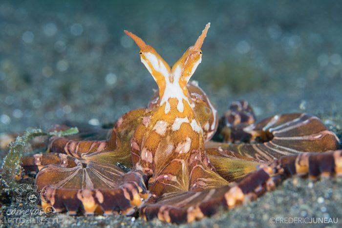 Wonderpus Lembeh Strait