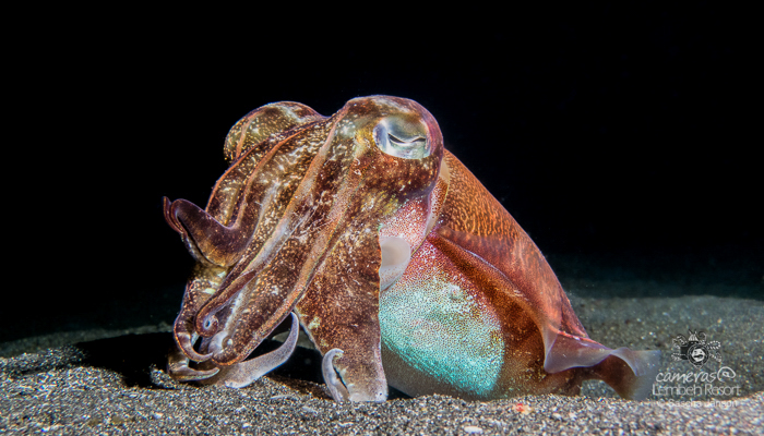 Broadclub Cuttlefish (Sepia latimanus) in the Lembeh Strait