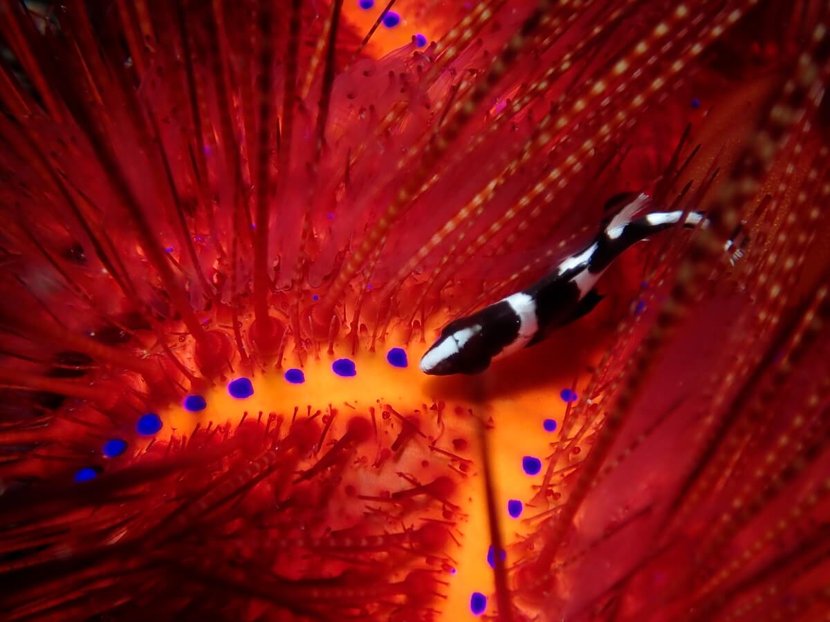 Underwater photography Lembeh