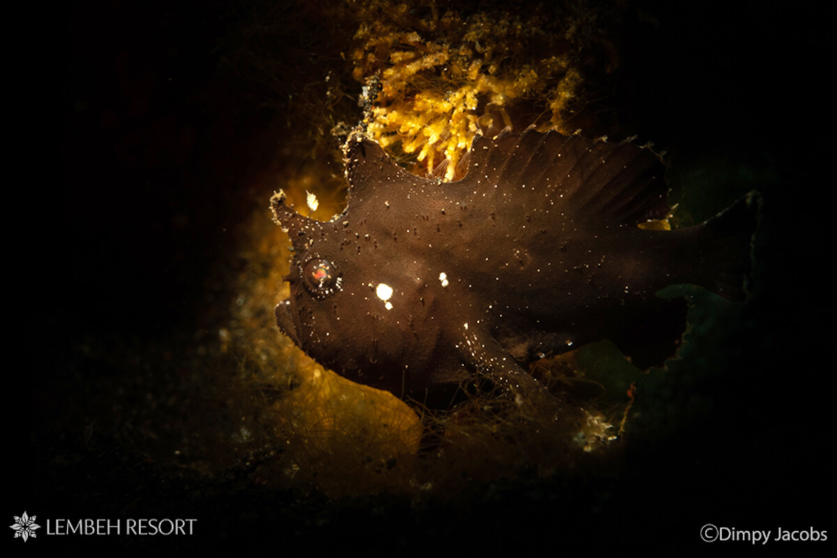 Randall's Frogfish