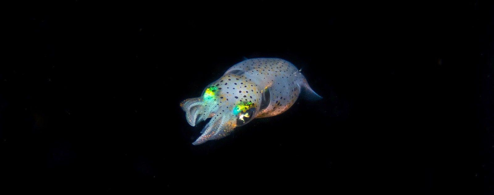 Squid blackwater lembeh