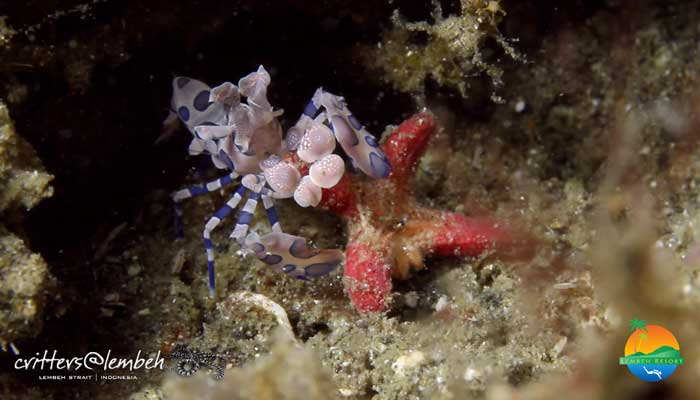 Muck Diving in Lembeh Strait – Critters of the Weeks 31 – 33