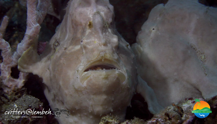Muck Diving in Lembeh Strait – Critters of the Weeks 37 – 40
