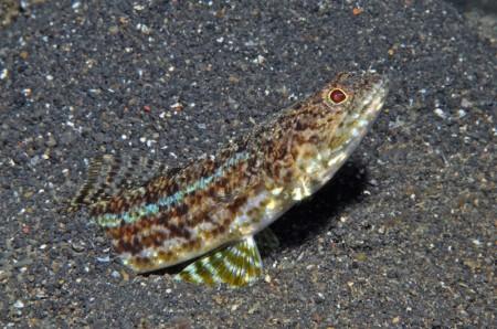 4.Lizardfish_Synodus sp2 B