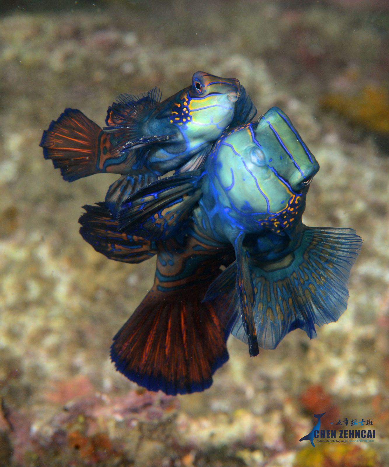 Manadarin fish, Lembeh Strait, Indonesia