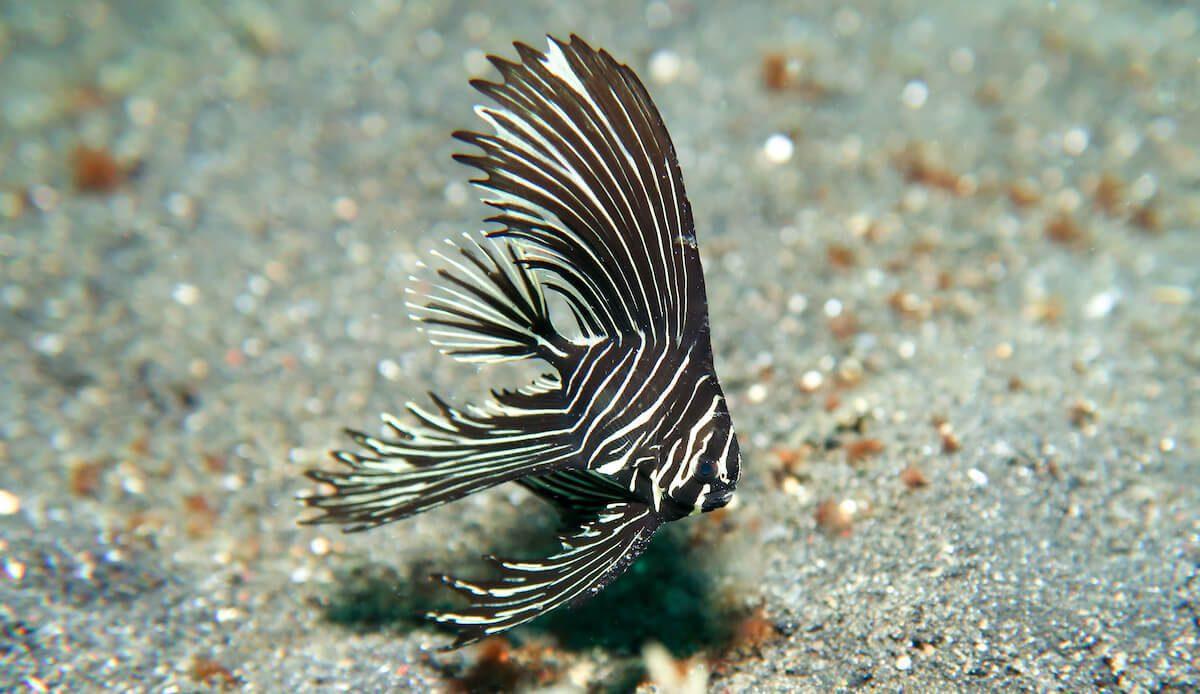 Zebra Batfish Lembeh Resort
