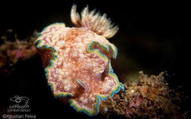 Nudibranch photography