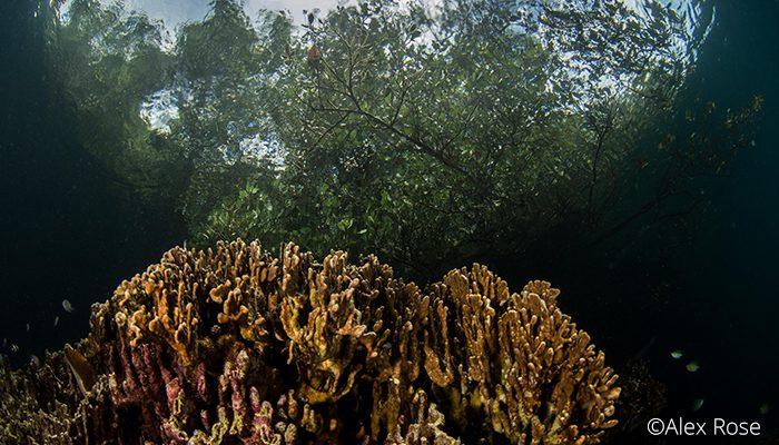 Batu Angus Reef & Mangrove, Lembeh Strait, Indonesia 2017