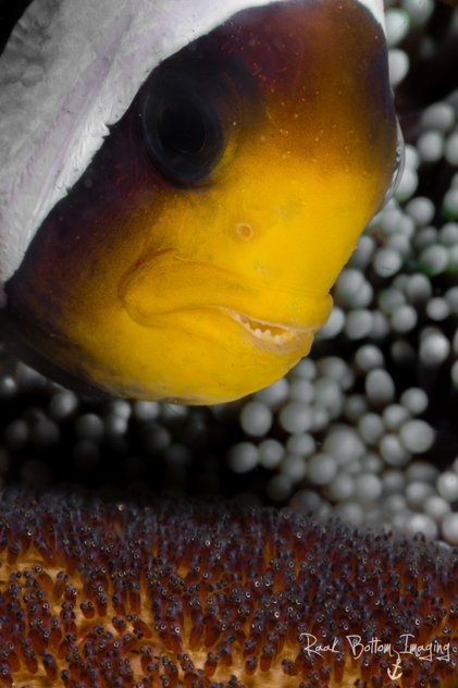 amphiprion-polymnus-with-eggs