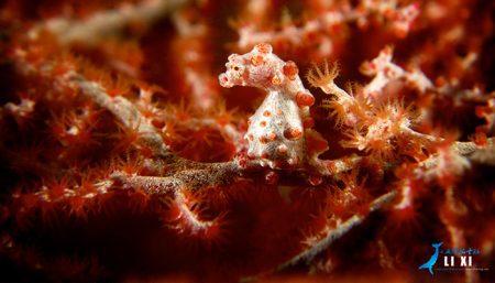 Pygmy Seahorse Lembeh