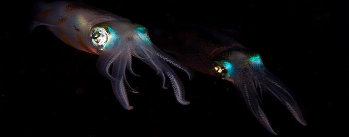 Big Fin Squid