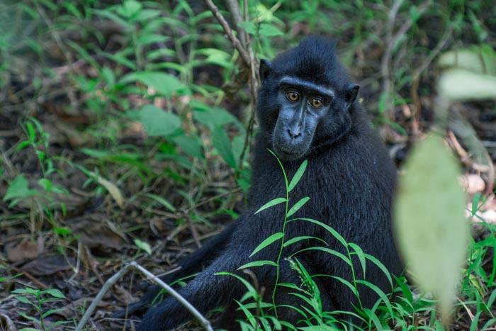 Sulawesi black macaque Tangkoko