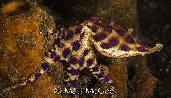 Blue ringed octopus, Matt McGee, Lembeh strait, North sulawesi, Indonesia 2017