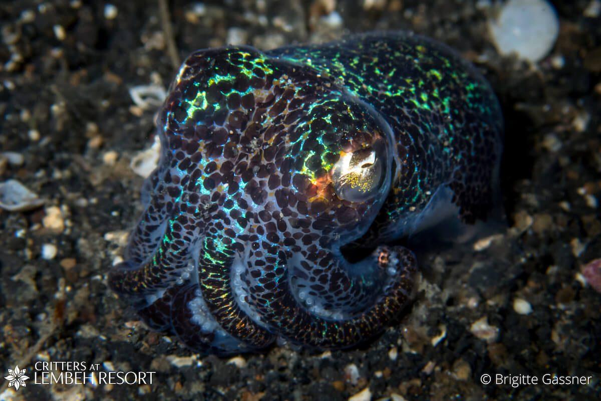 Bobtail squid Lembeh