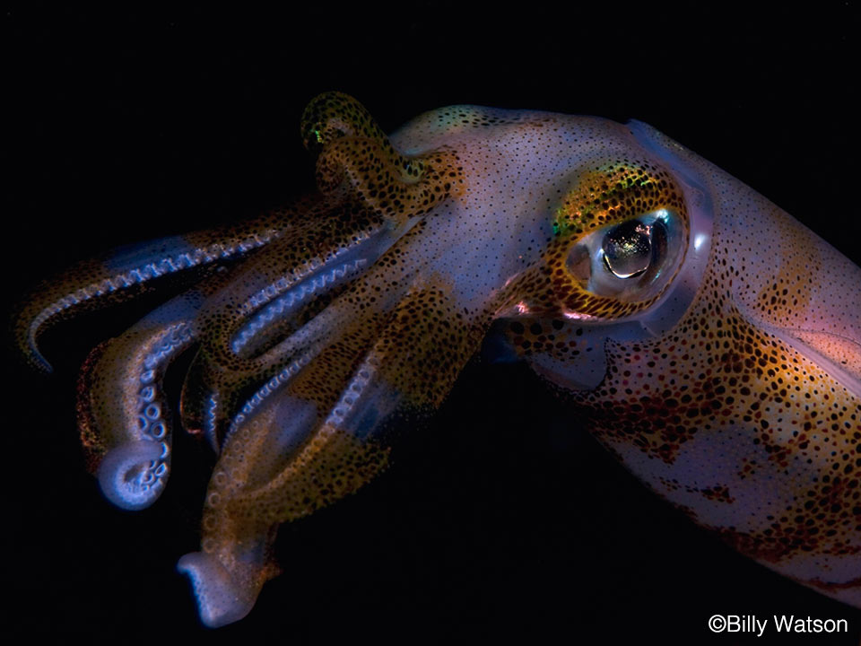 Bump-In-The-Night-Big-Fin-Squid