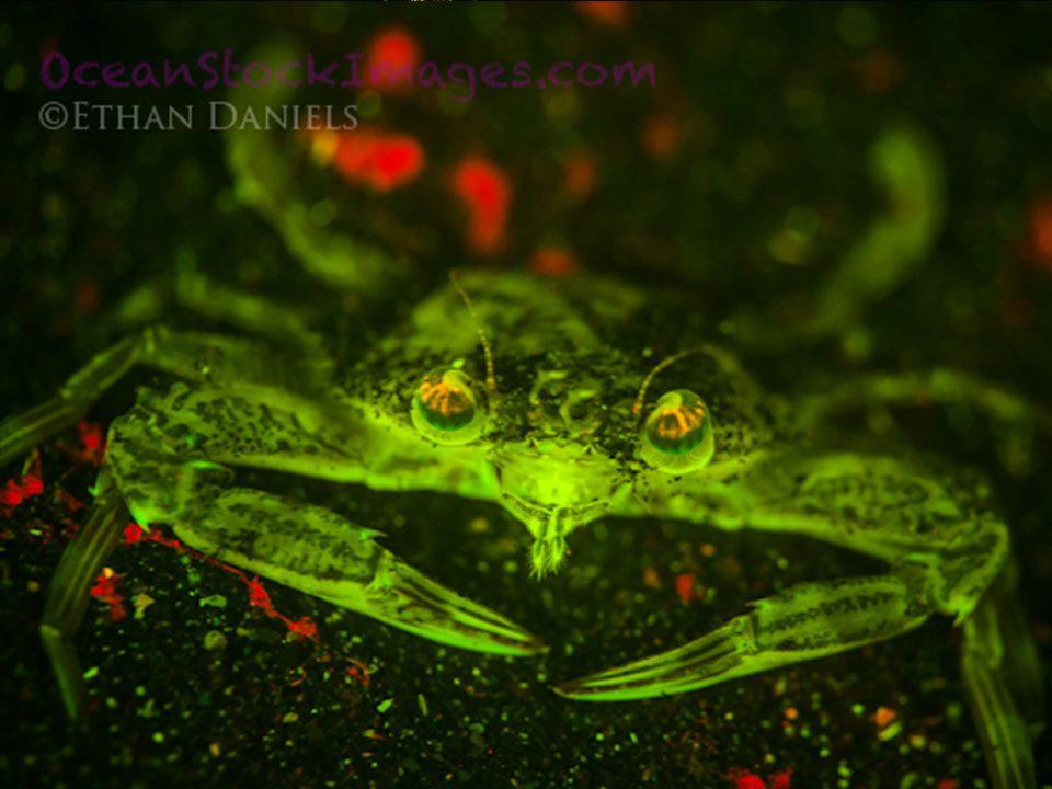 Bump-In-The-Night-Swimming-crab