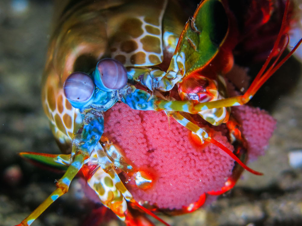 capturing-critters-in-lembeh-2016-manthis-shrimp-with-eggs