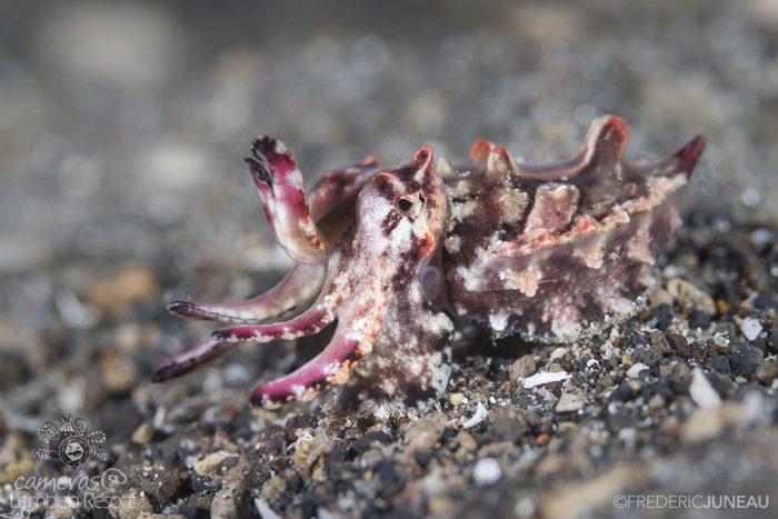 Flamboyant cuttlefish Lembeh