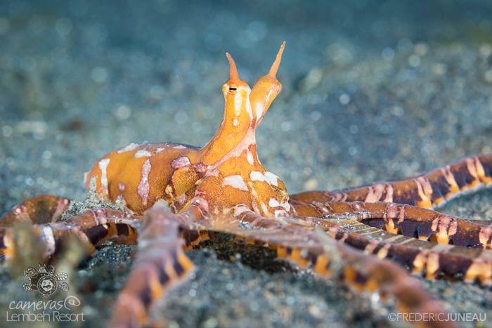 Wunderpus diving in Lembeh