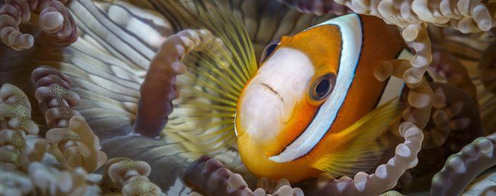 Clownfish Lembeh