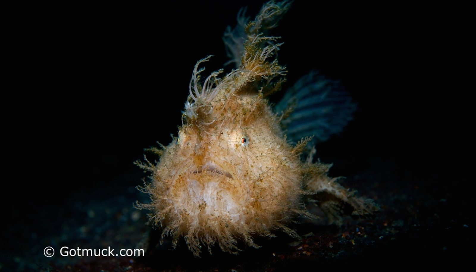 Frogfish – The Masters of Camouflage at Lembeh's Best Dive Sites