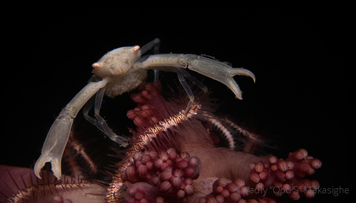 Crustacean Species of the Lembeh Strait