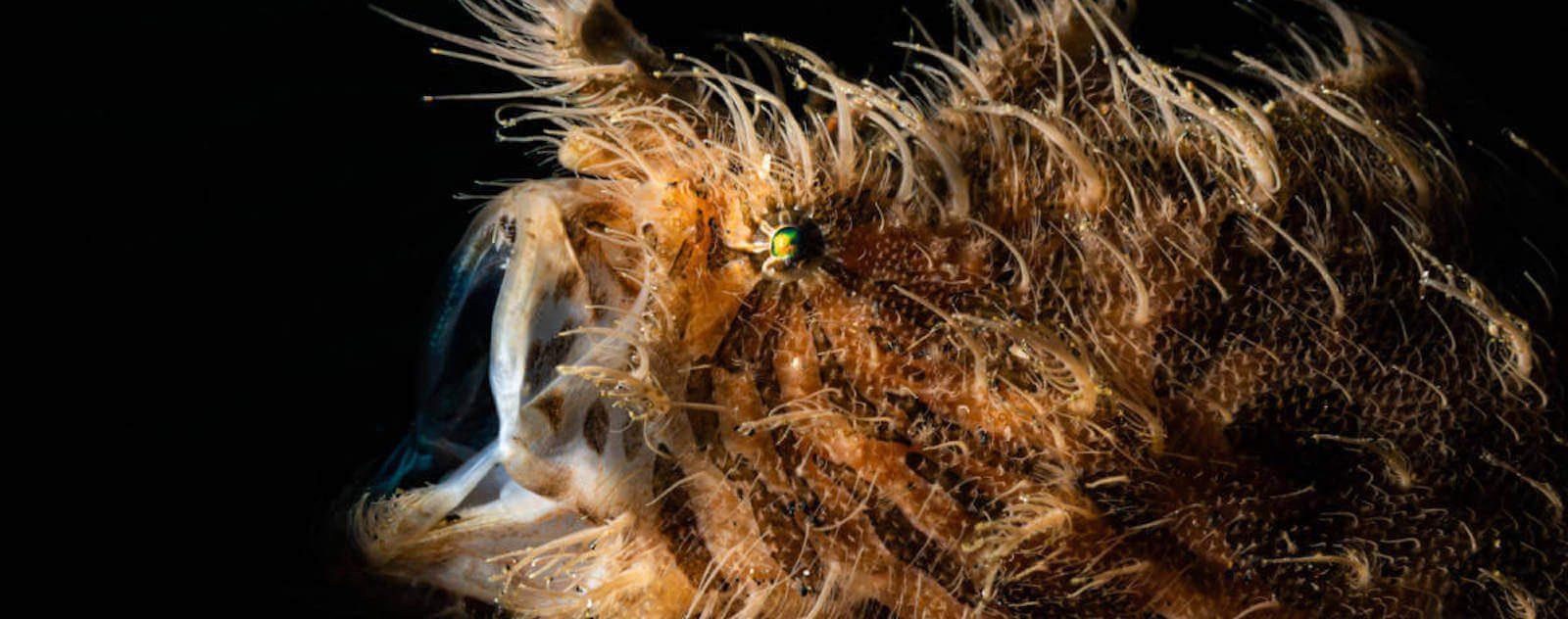 Frogfish lembeh strait