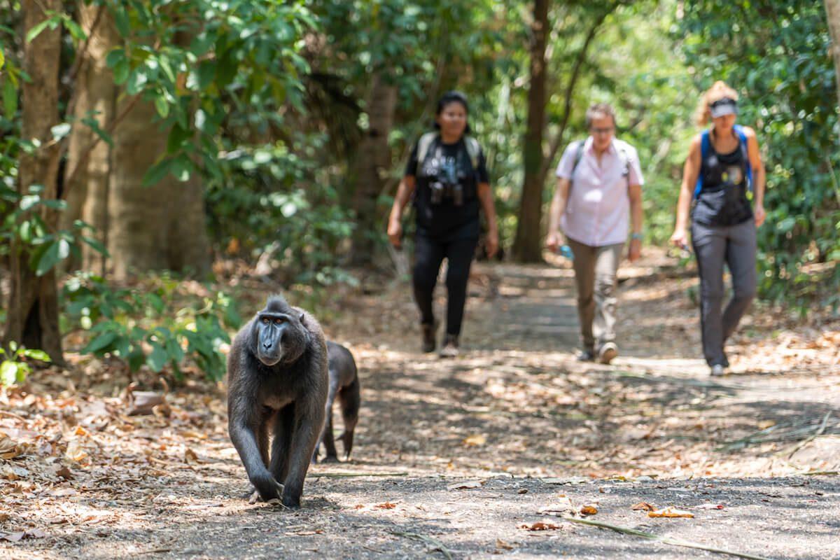 Tangkoko Macaque