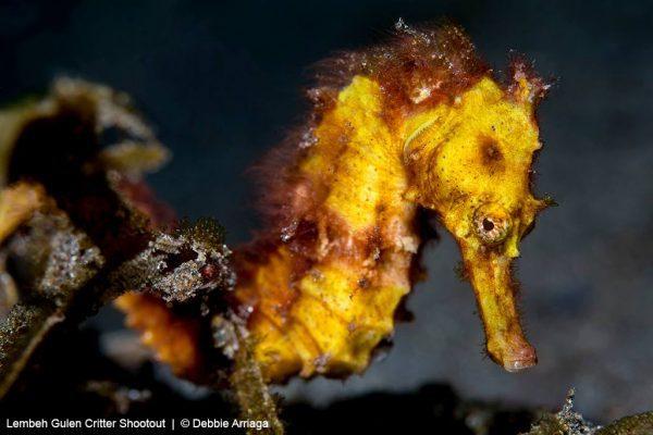 embeh_Fish-5_Debbie Estuary sea horse ( Hippocampus kuda )