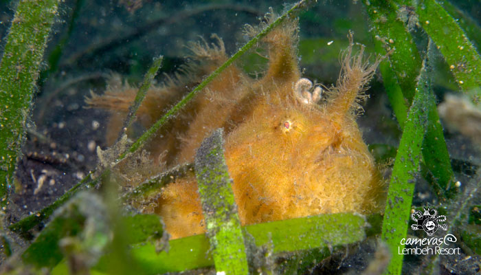 Critters of the Lembeh Strait   Episode 09 – 2016   August Highlights