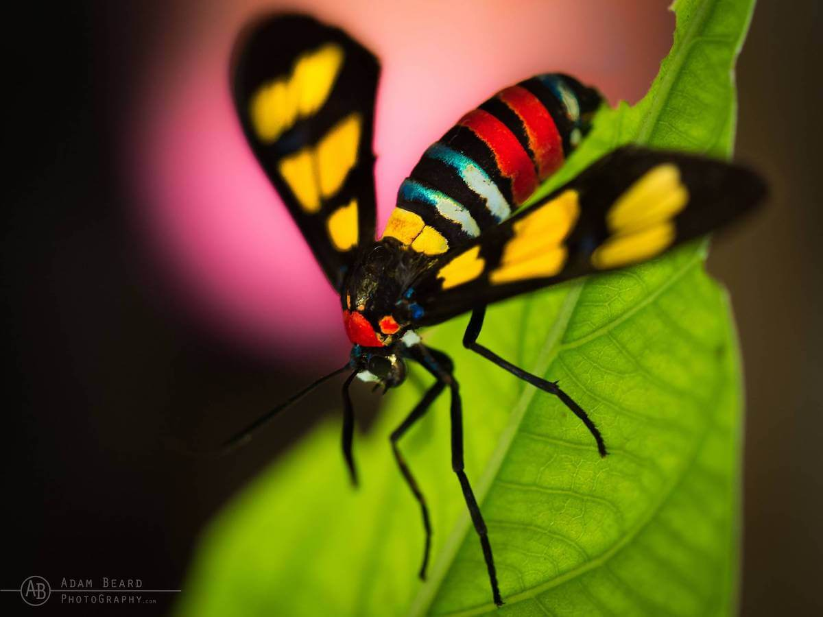 Forester Moth Sulawesi
