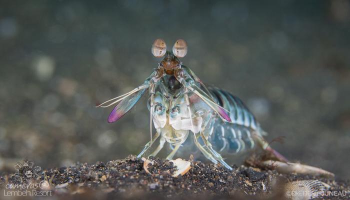Mantis shrimp crustacean Lembeh
