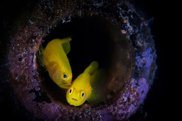 Muck Diving goby
