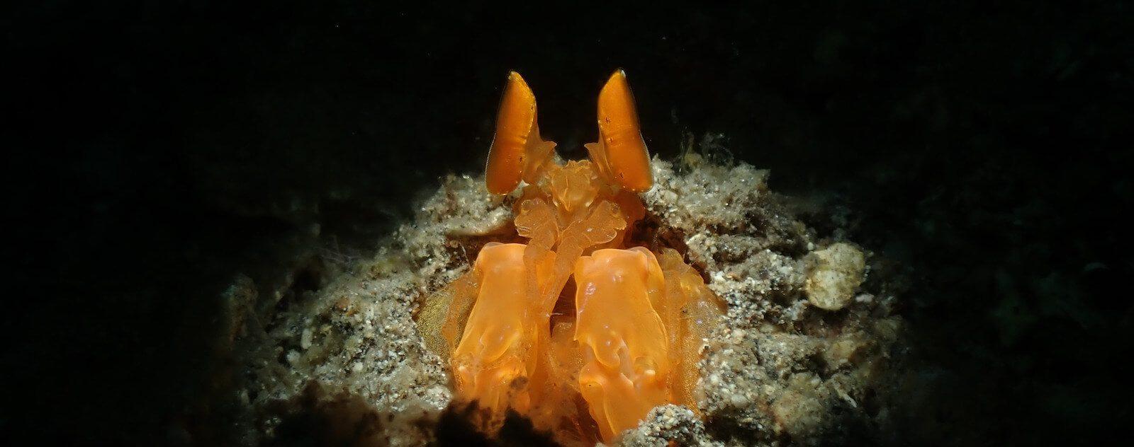 Golden Mantis - Lysiosquilloides mapia