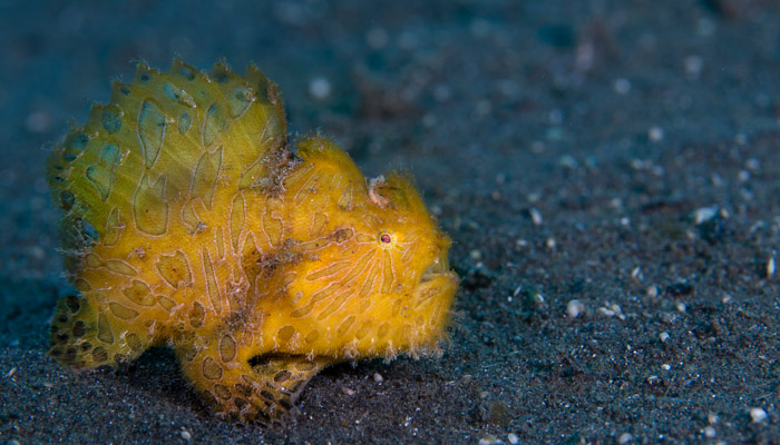 Hairy Frogfish, a usual suspect in Lembeh Strait