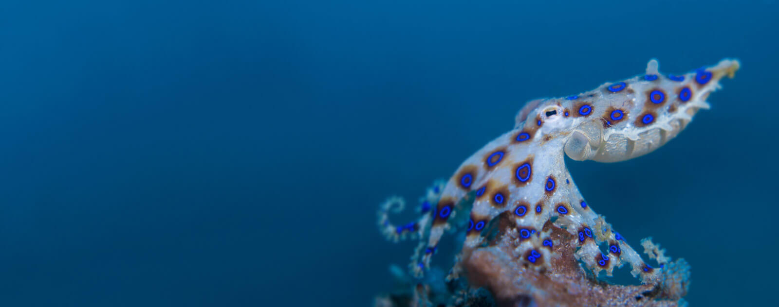 Lembeh Blue Ring Octopus