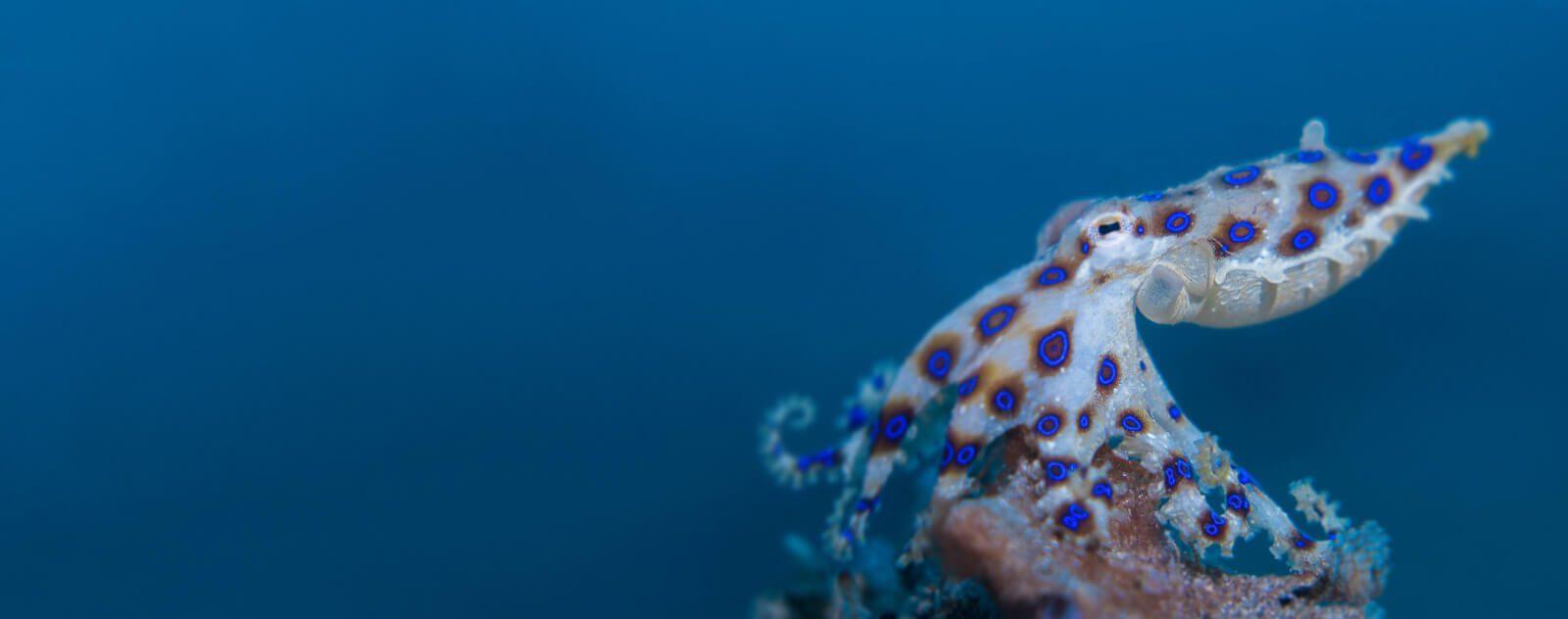 Lembeh Blue Ring Octopus