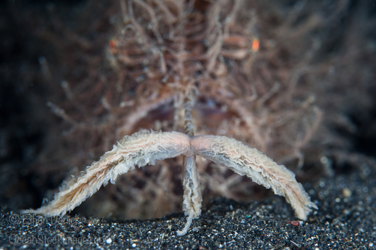 A Hairy or Striped frogfish, Antennarius striatus, uses its large lure attached to a modified dorsal spine, called an esca, to attract potential prey. Hair Ball, Lembeh Strait, North Sulawesi, Indonesia, Pacific Ocean.