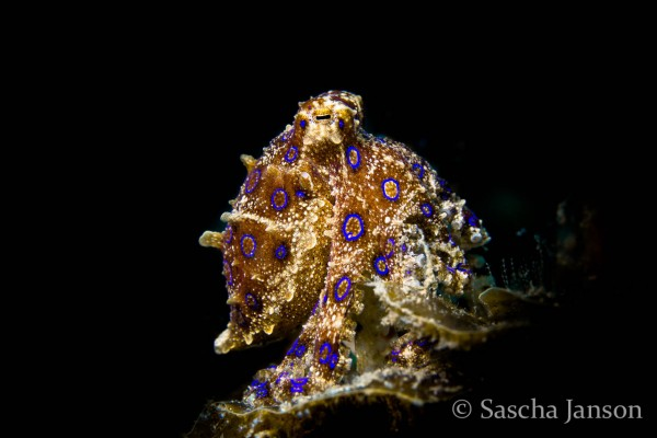 Blue Ringed octopus, photo pro, Sascha janson, Lembeh Strait, North Sulawesi, Indonesia, critter