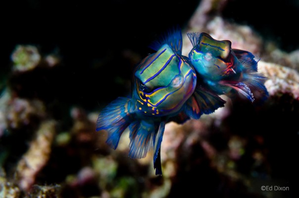 Mandarin Fish, Lembeh Strait, North Sulawesi Indonesia, Bitung, critters@Lembeh Resort, Lembeh Resort
