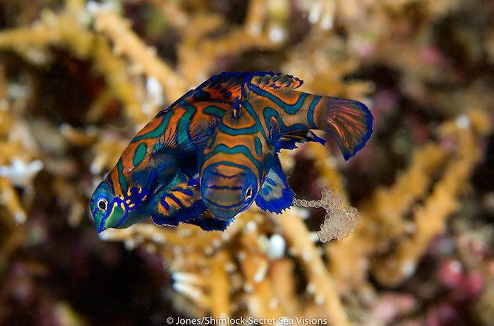 Mandarin fish geek