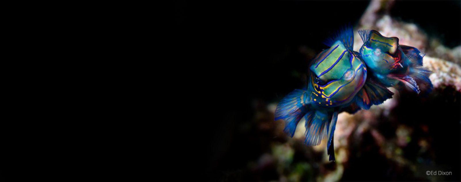 Mandarin fish mating lembeh