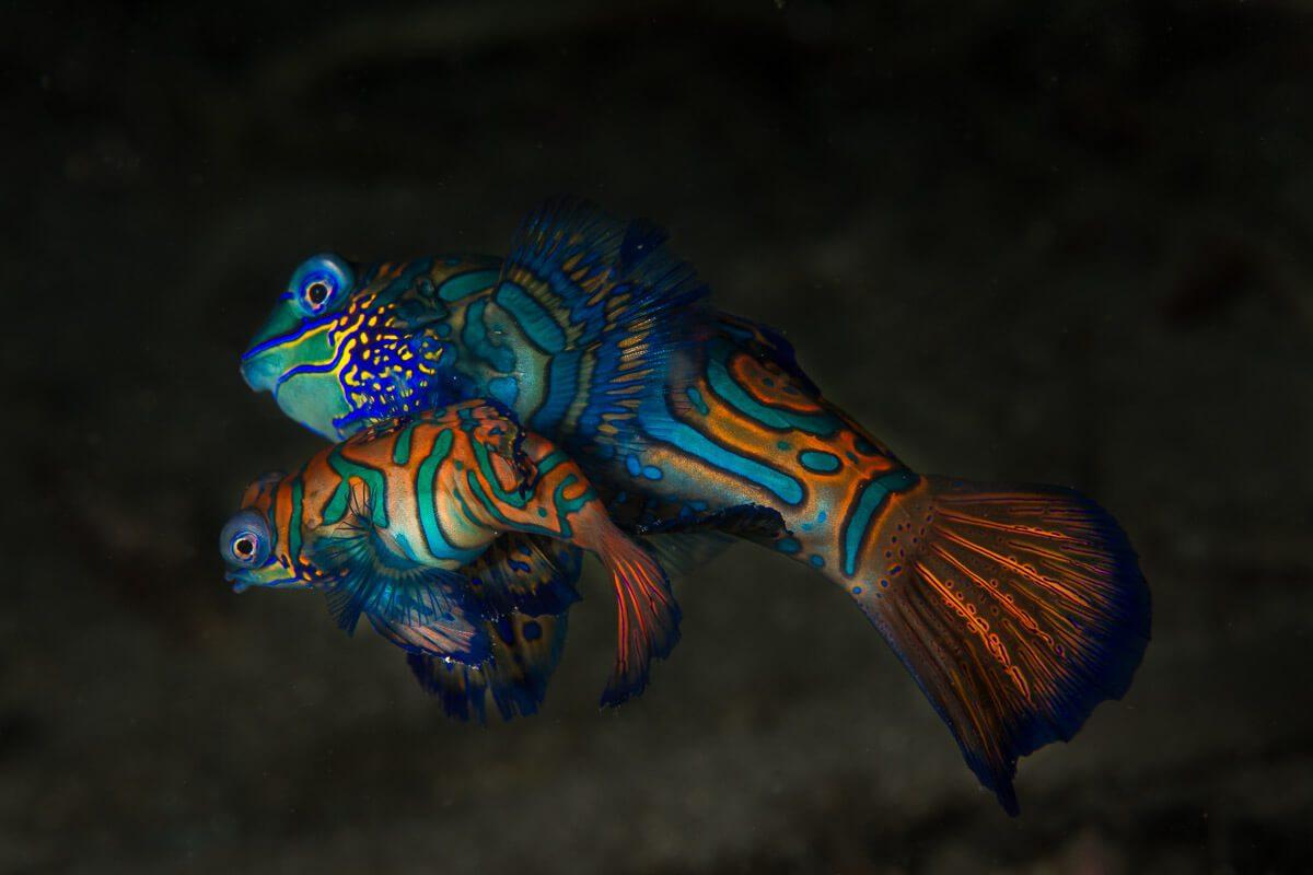 Mandarinfish Lembeh
