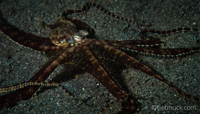 Mimic octopus, Thaumoctopus mimicus, Gotmuck, Critters@Lembeh Lembeh Resort, Lembeh Strait Indonesia (2017)