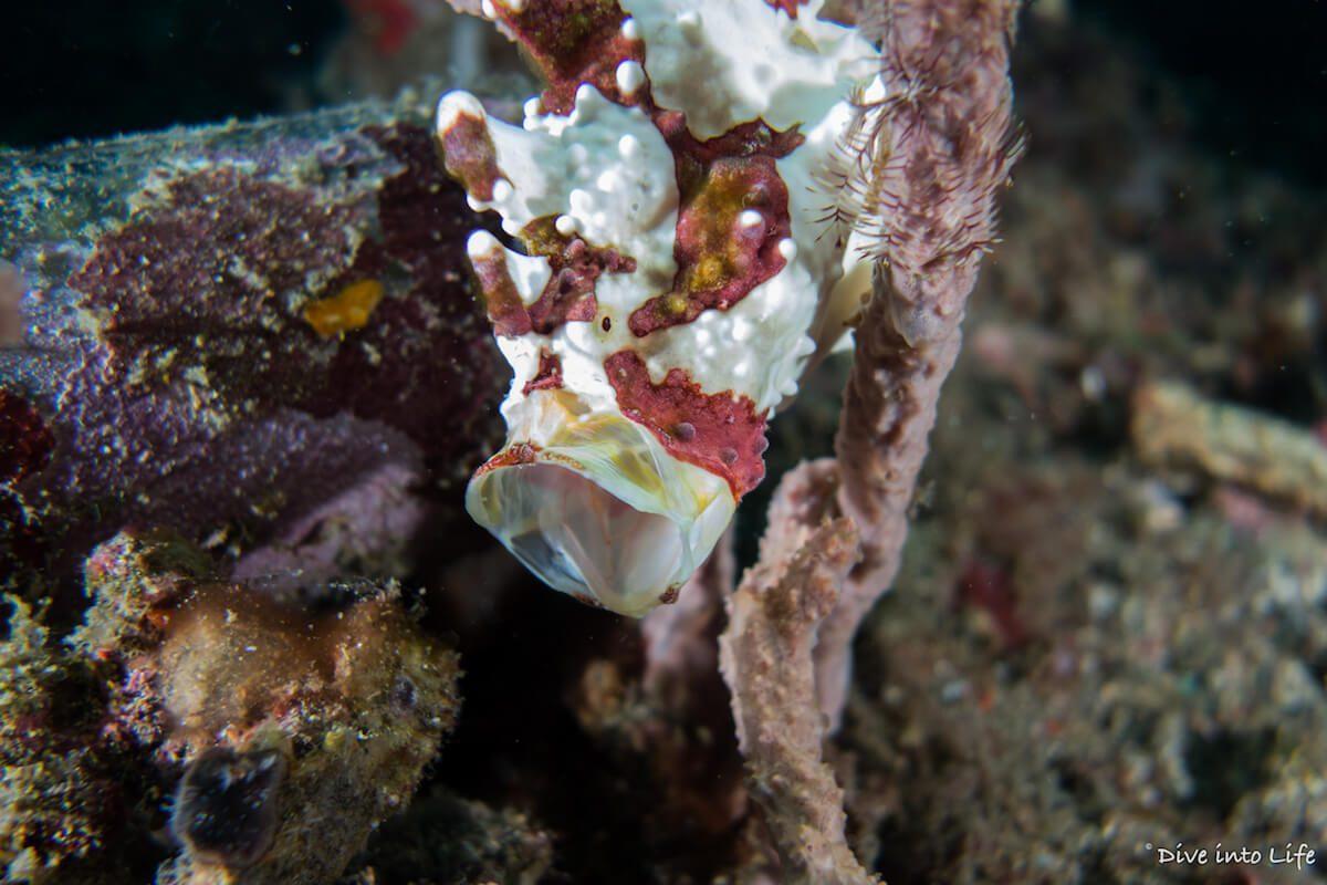 Warty frogfish Lembeh